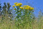 Eng-brandbger (Senecio jacobaea)